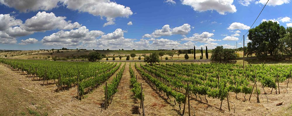 Vista dei vitigni di Cantine Carpentiere, Puglia